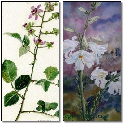 Banner-flowers
